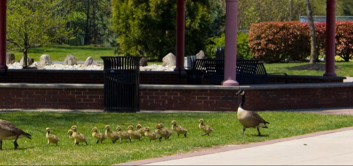 Geese crossing rowan university campus in front of chestnut