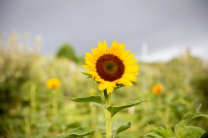 sunflower in the field at Hill Creek Farms in Mullica Hill, N.J.