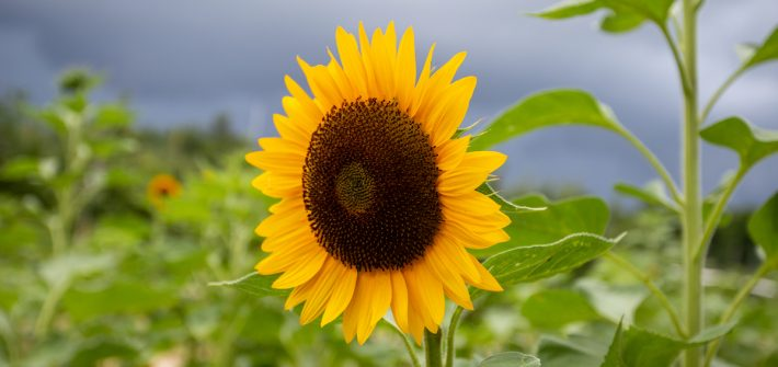 sunflower in field
