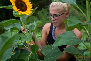 Rowan University student Vanessa clips a sunflower at Hill Creek Farms