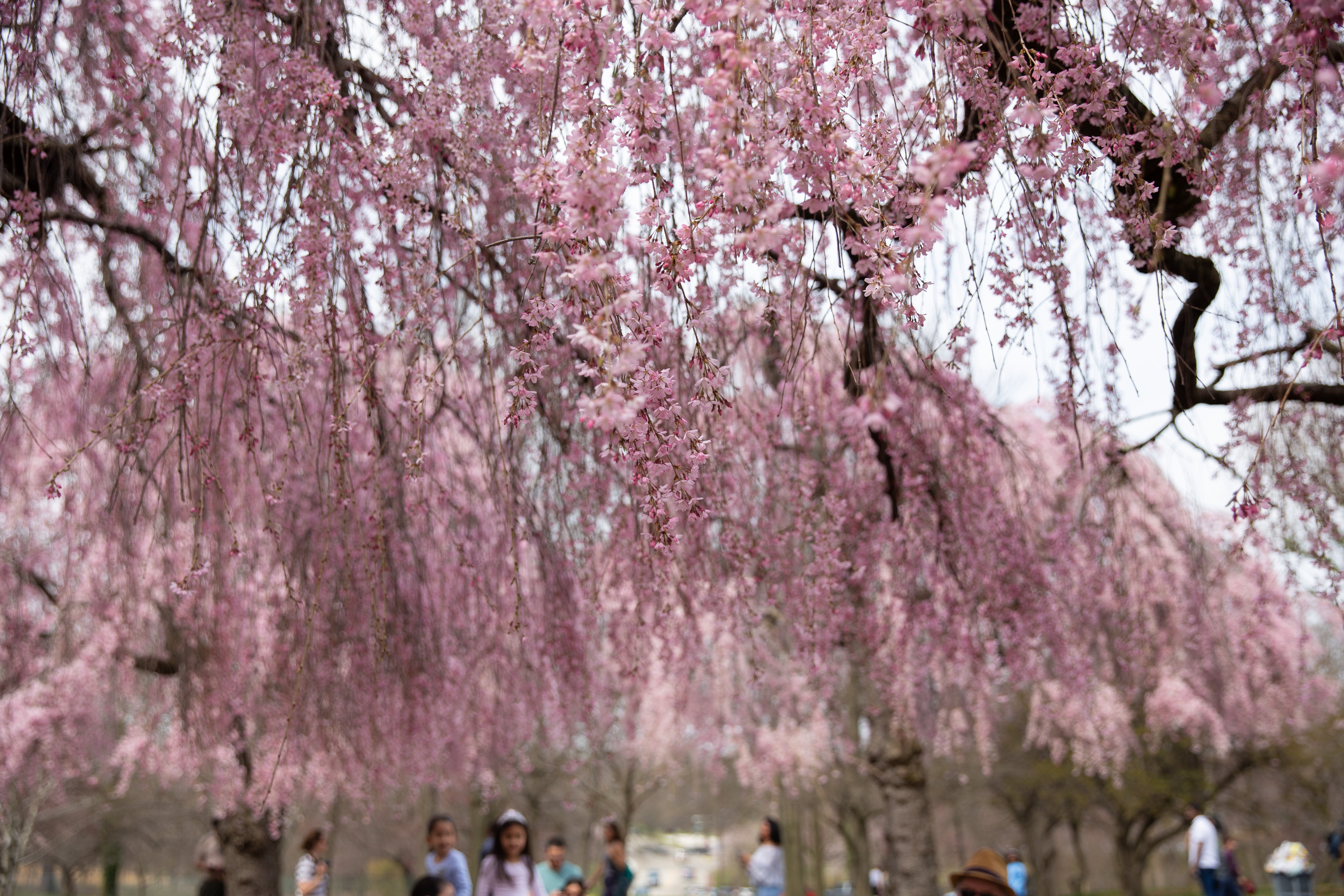 Up-close photo of a pink cherry blossom trees at Fairmount Park in Philadelphia, PA.