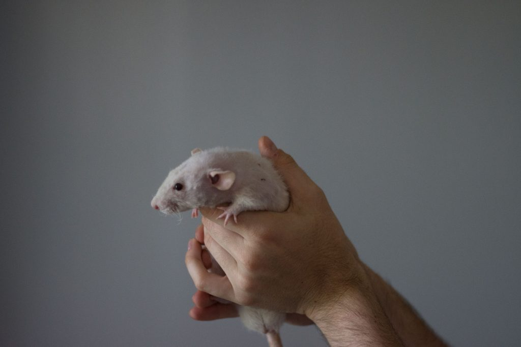 Frankie, the Dumbo Hairless Rat