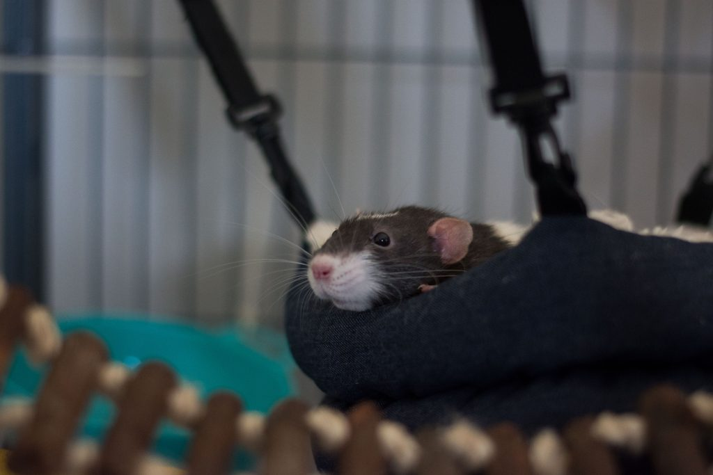 Gandalf, the Dumbo Rat