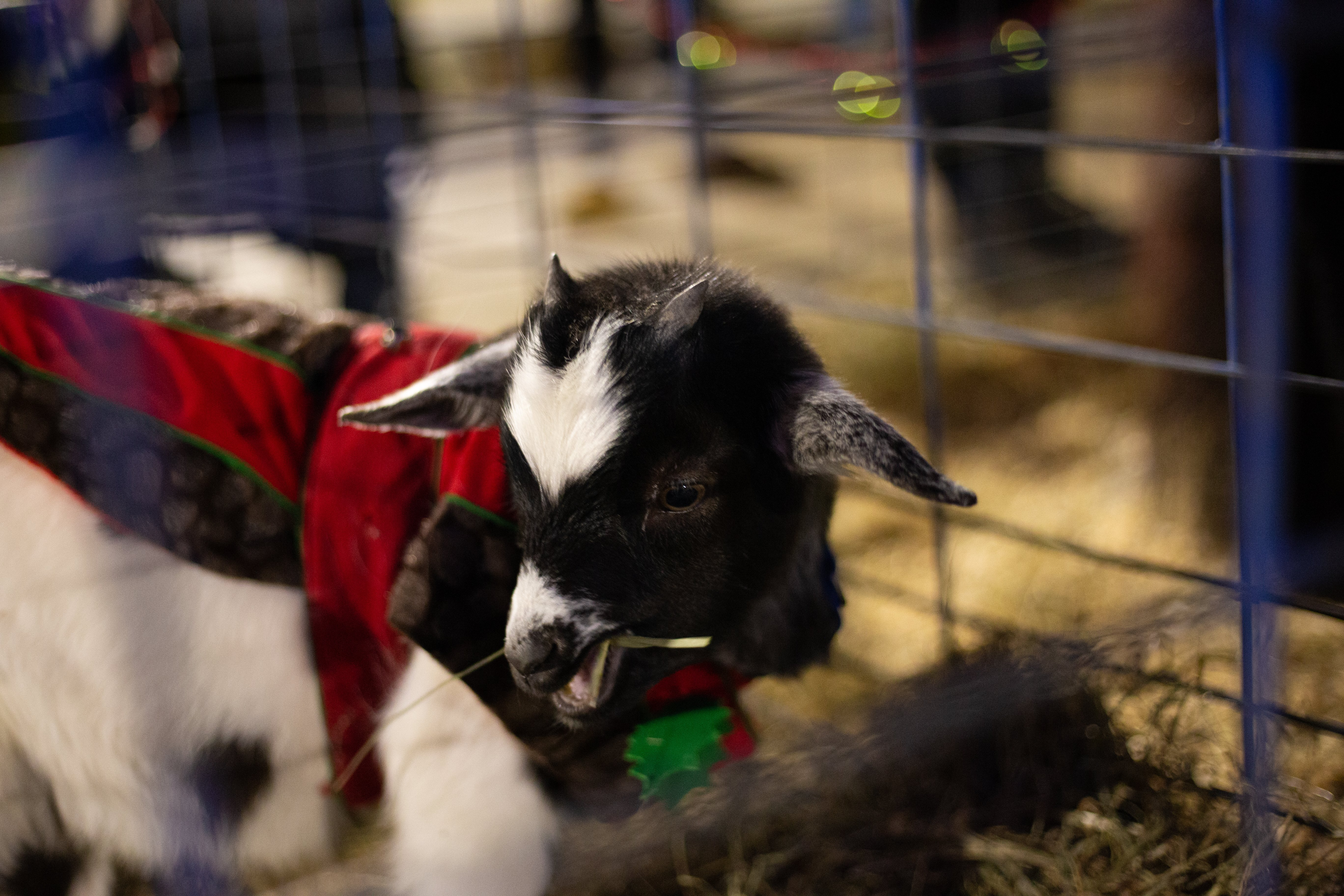 A baby goat taking a snack break during the mini petting zoo.