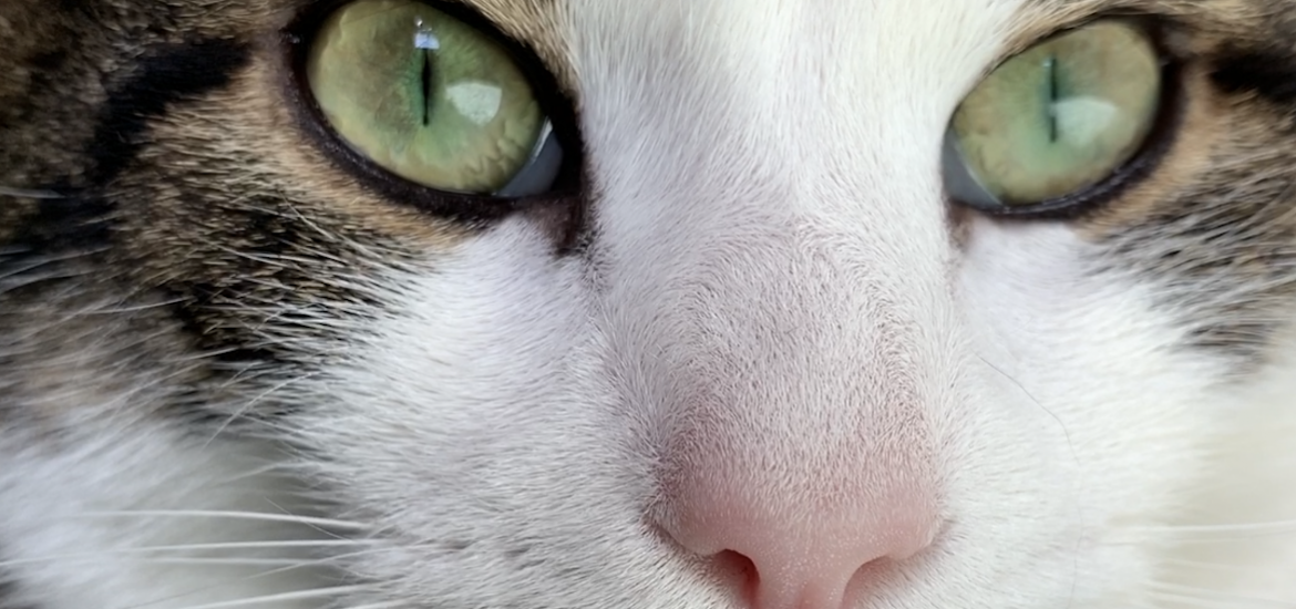 a close up photo of Harison the cat.