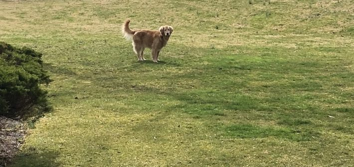 Riley the golden retriever stands in the middle of large yard.