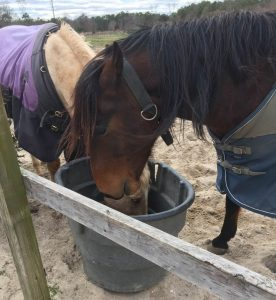 Horses eating from a bucket.