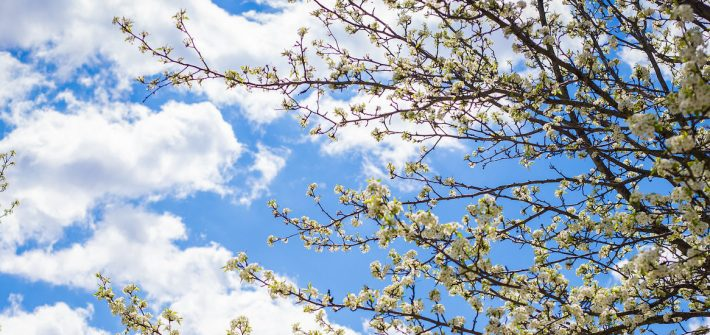 Upward view of white blossoms on a tree and a clear sky with puffy white clouds.