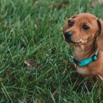 Slinky the dachshund sitting outside in grass.