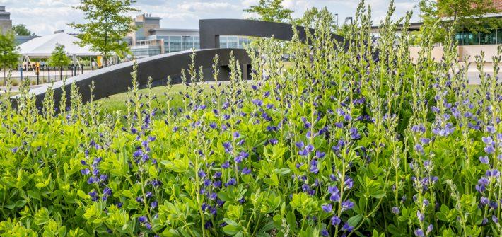 Field of flowers near Wilson hall.