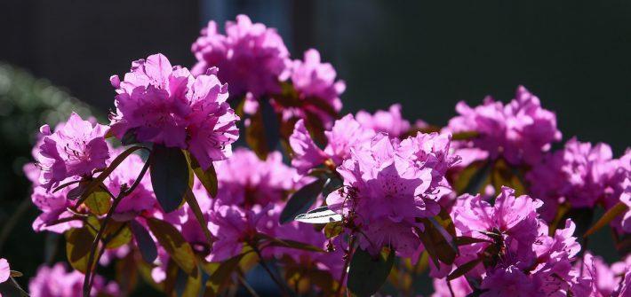 Purple azaleas near Hollybush.